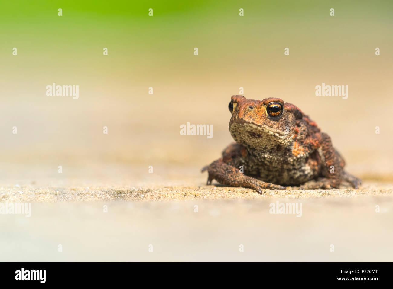 Gewone Pad, Common Toad Stock Photo