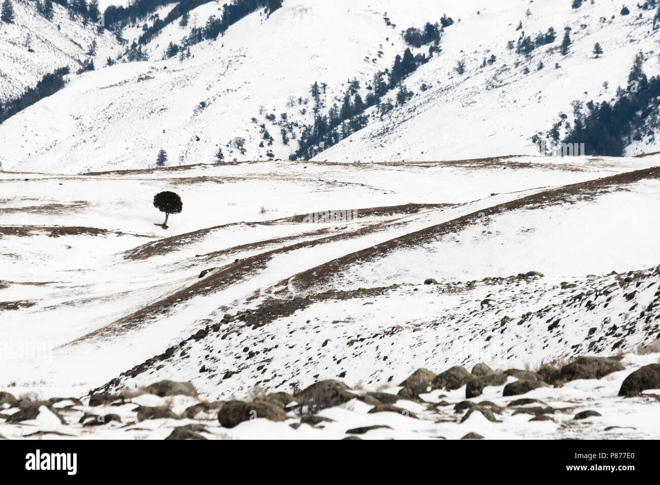 Snowy landscape with solitary tree at Yellowstone National Park - Stock Image