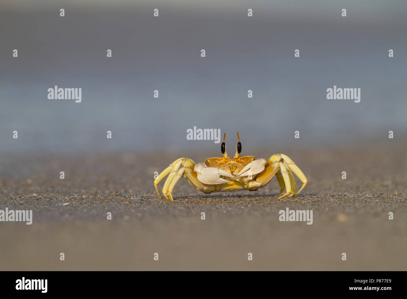 Crab foraging on the beach in Oman - Stock Image