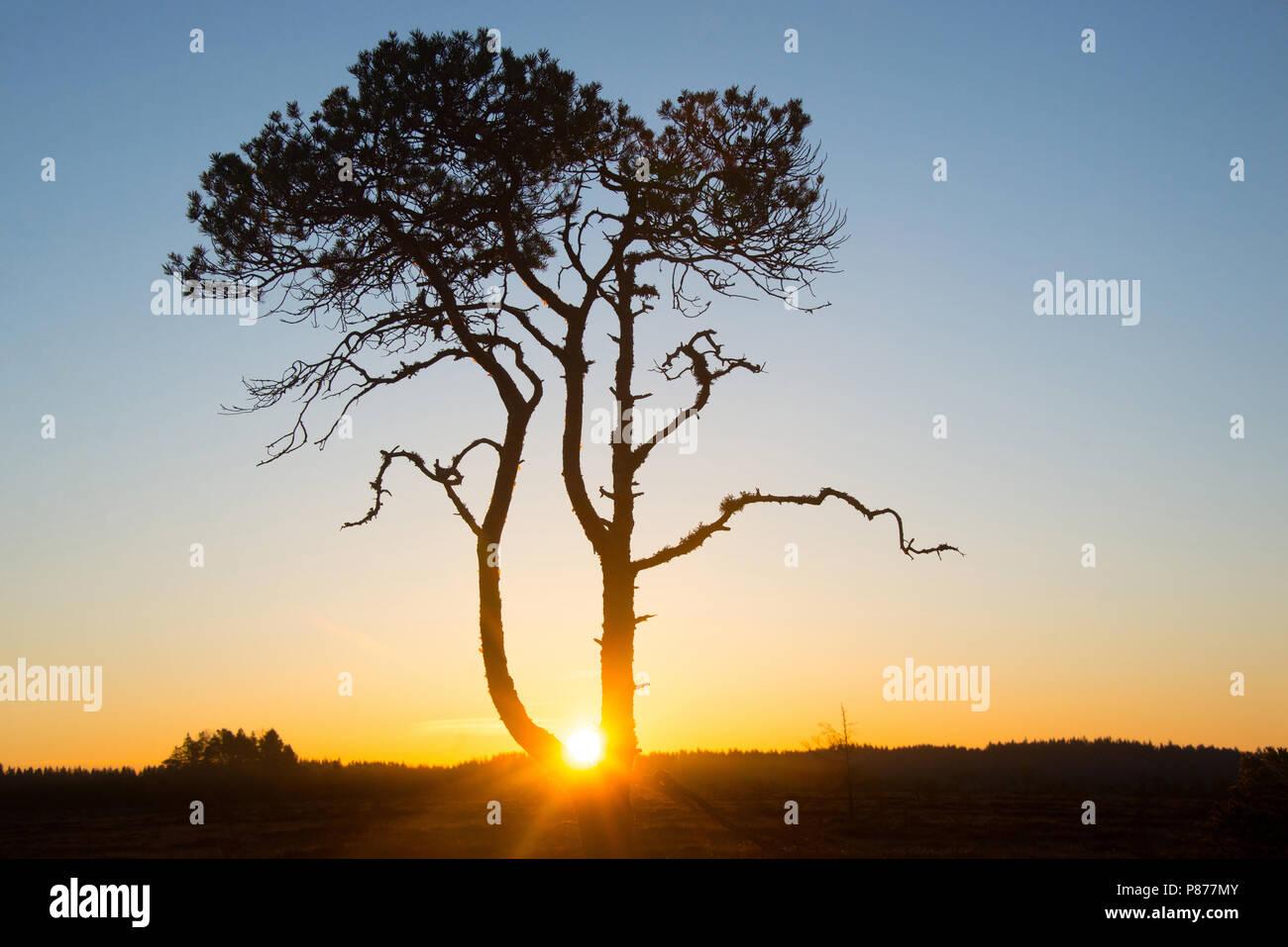 Pinus sylvestris - My sunrise tree. Torronsuo National Park, Finland. Stock Photo