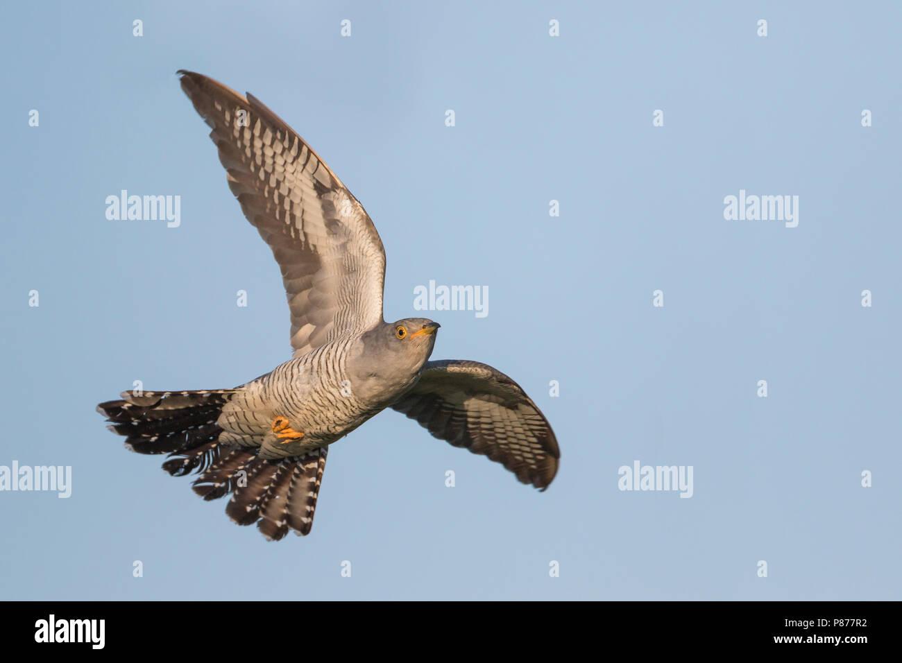 Cuckoo - Kuckuck - Cuculus canorus ssp. canorus, Russia, adult, male - Stock Image