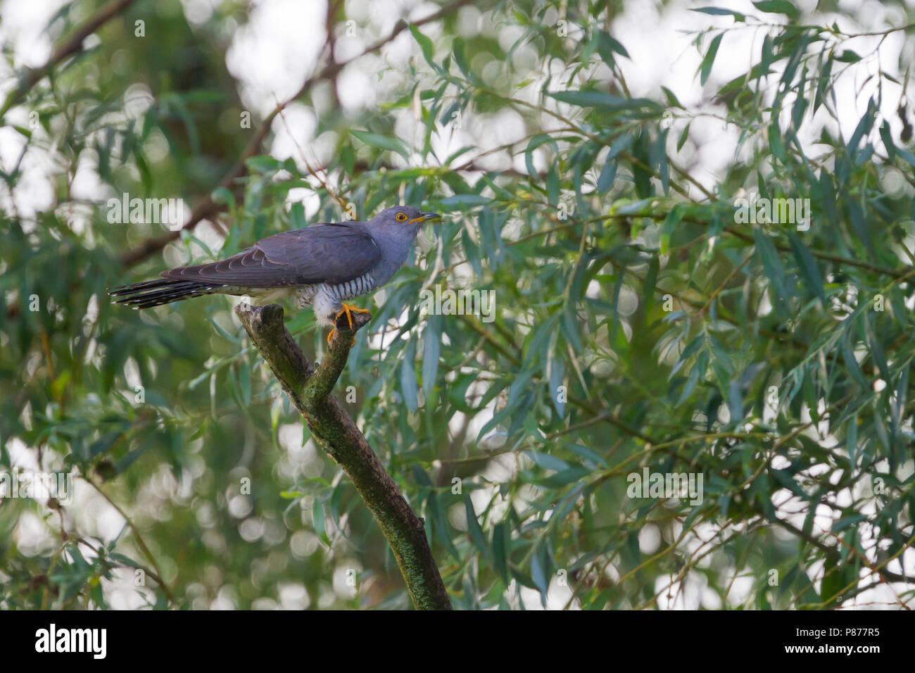 Cuckoo, Koekoek, Cuculus canorus ssp. canorus, Hungary, adult, male - Stock Image