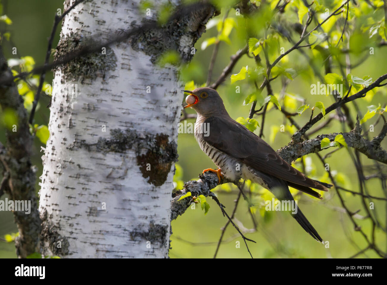 Common Cuckoo (Cuculus canorus ssp. subtelephonus), Kazakhstan, adult, female with egg stolen from host nest of her own egg, to throw the egg away. - Stock Image