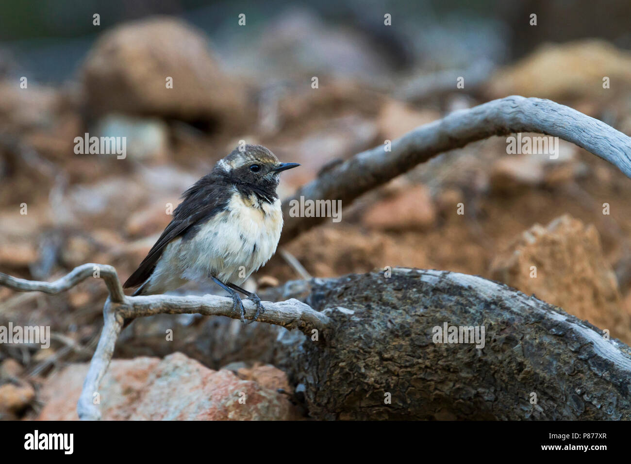 Cyprus Wheatear - Zypernsteinschmätzer - Oenanthe cypriaca, Cyprus, adult female Stock Photo