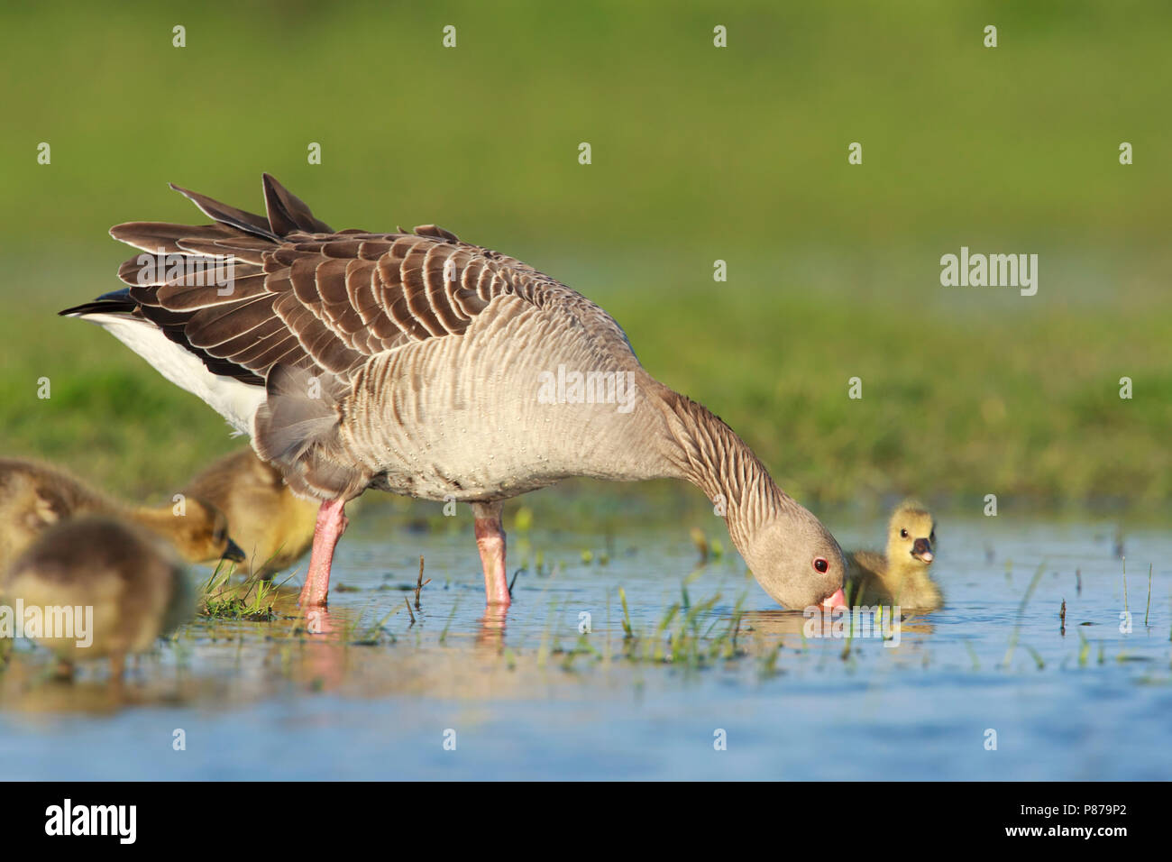 Grauwe Gans met jongen, Grey-lag Goose with chicks Stock Photo