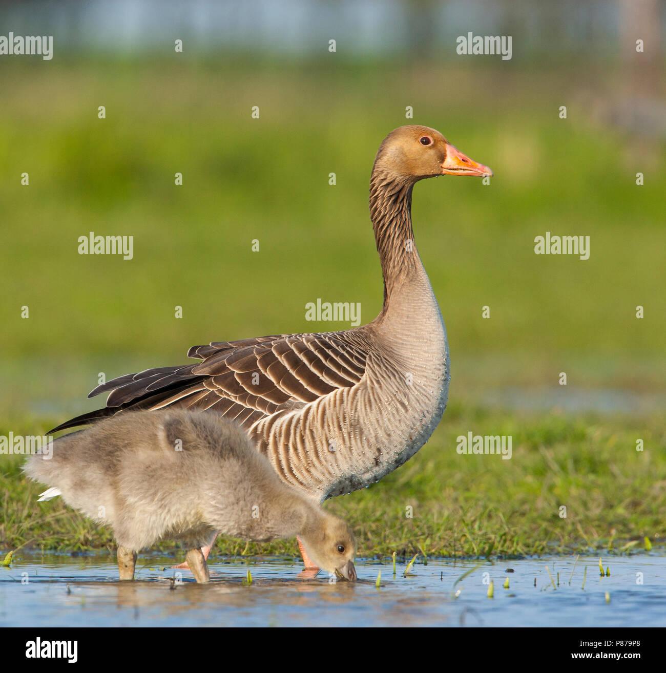Grauwe Gans met jong, Grey-lag Goose with chick Stock Photo