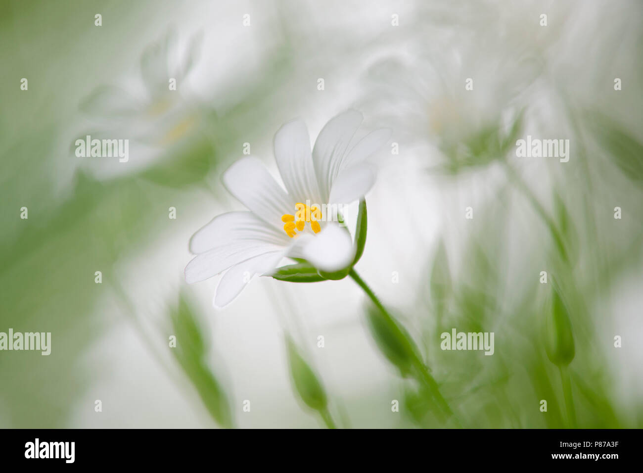 Grote Foto Op Muur.Grote Muur Greater Stitchwort Stock Photo 211603267 Alamy