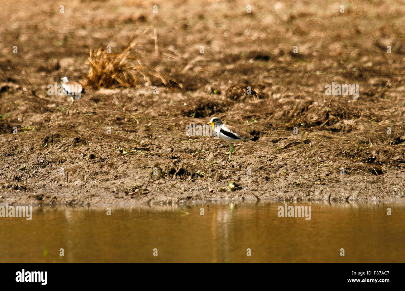 Senegal Wattled Plover, Vanellus senegallus. Mana Pools National Park. Zimbabwe - Stock Image