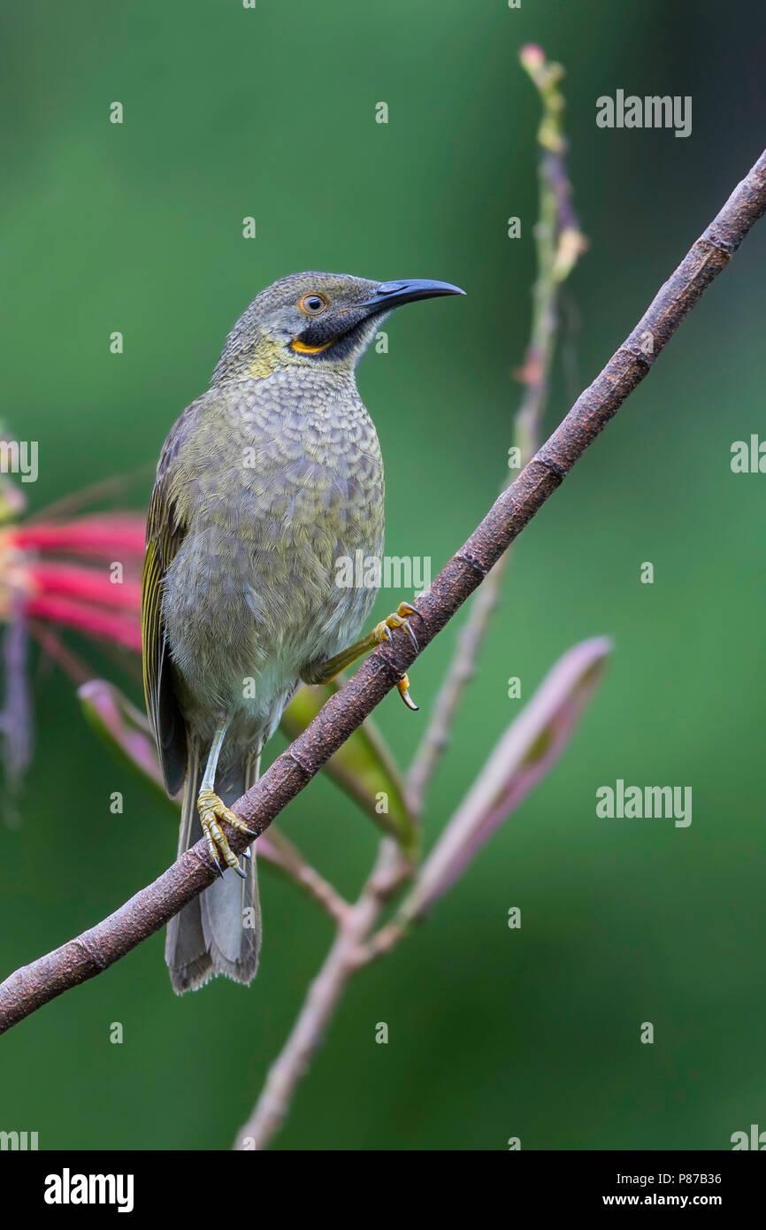 Kikau (Foulehaio procerior) a ecently split species from Fiji. - Stock Image