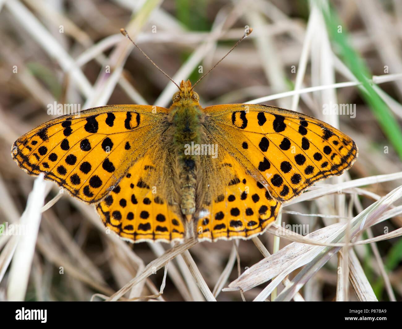 Kleine parelmoervlinder, Queen of Spain Fritillary Stock Photo