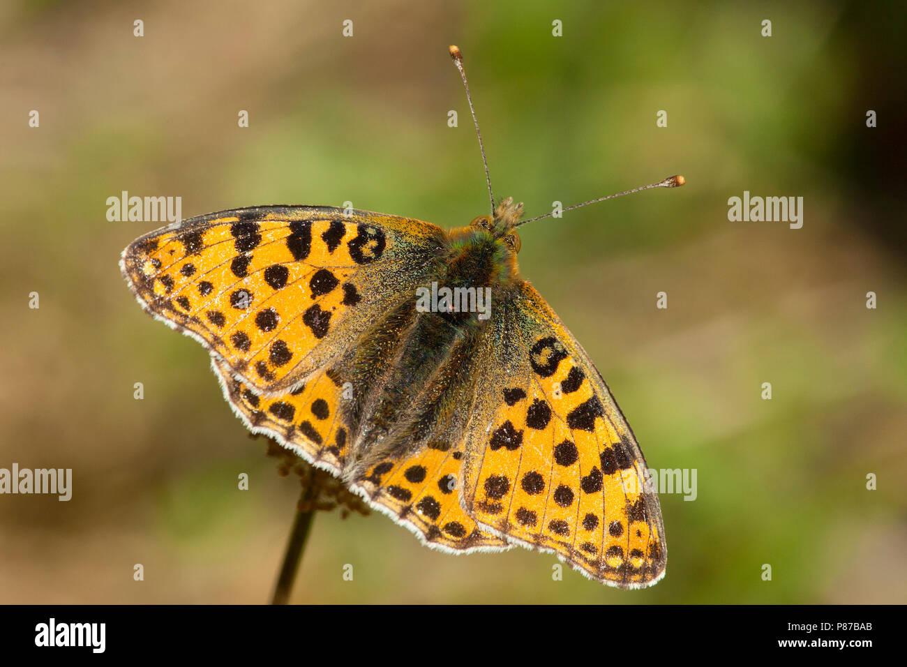 Kleine parelmoervlinder / Queen of Spain Fritillary (Issoria lathonia) Stock Photo