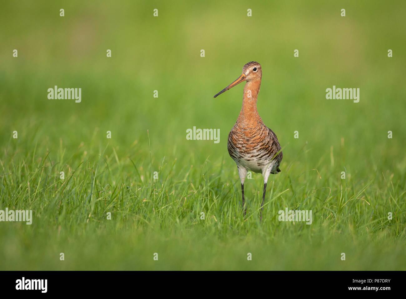 Grutto, Black-tailed Godwit, Limosa limosa Stock Photo