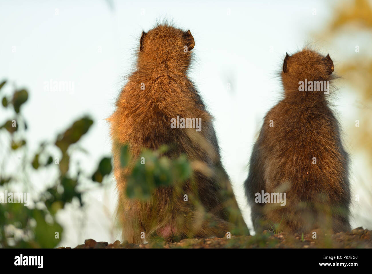 Baboon monkey animal frienship in Kruger - Stock Image