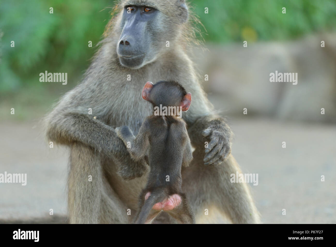 Baby baboon playing action cutest monkey in Kruger - Stock Image