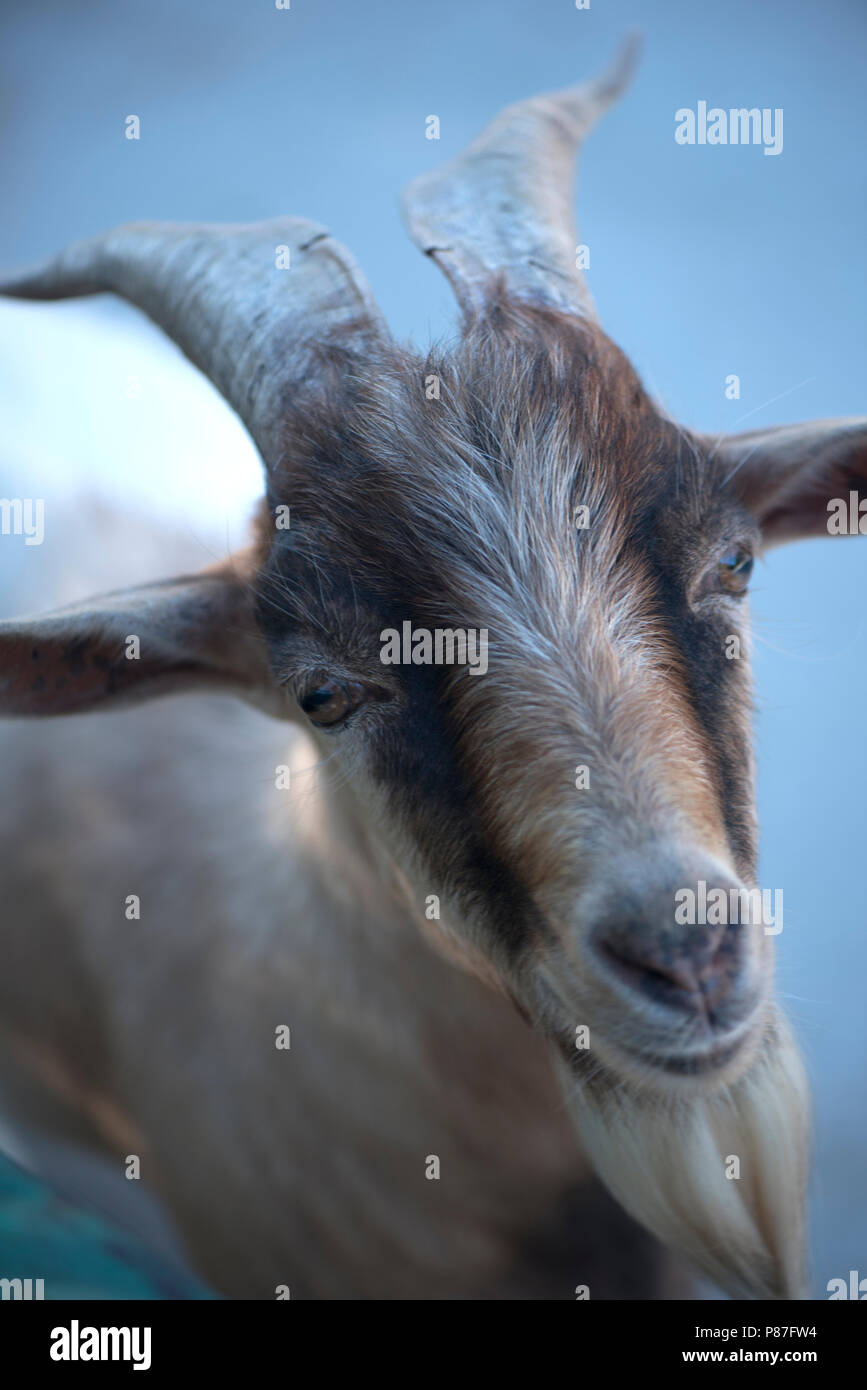 looking goat with horns Stock Photo