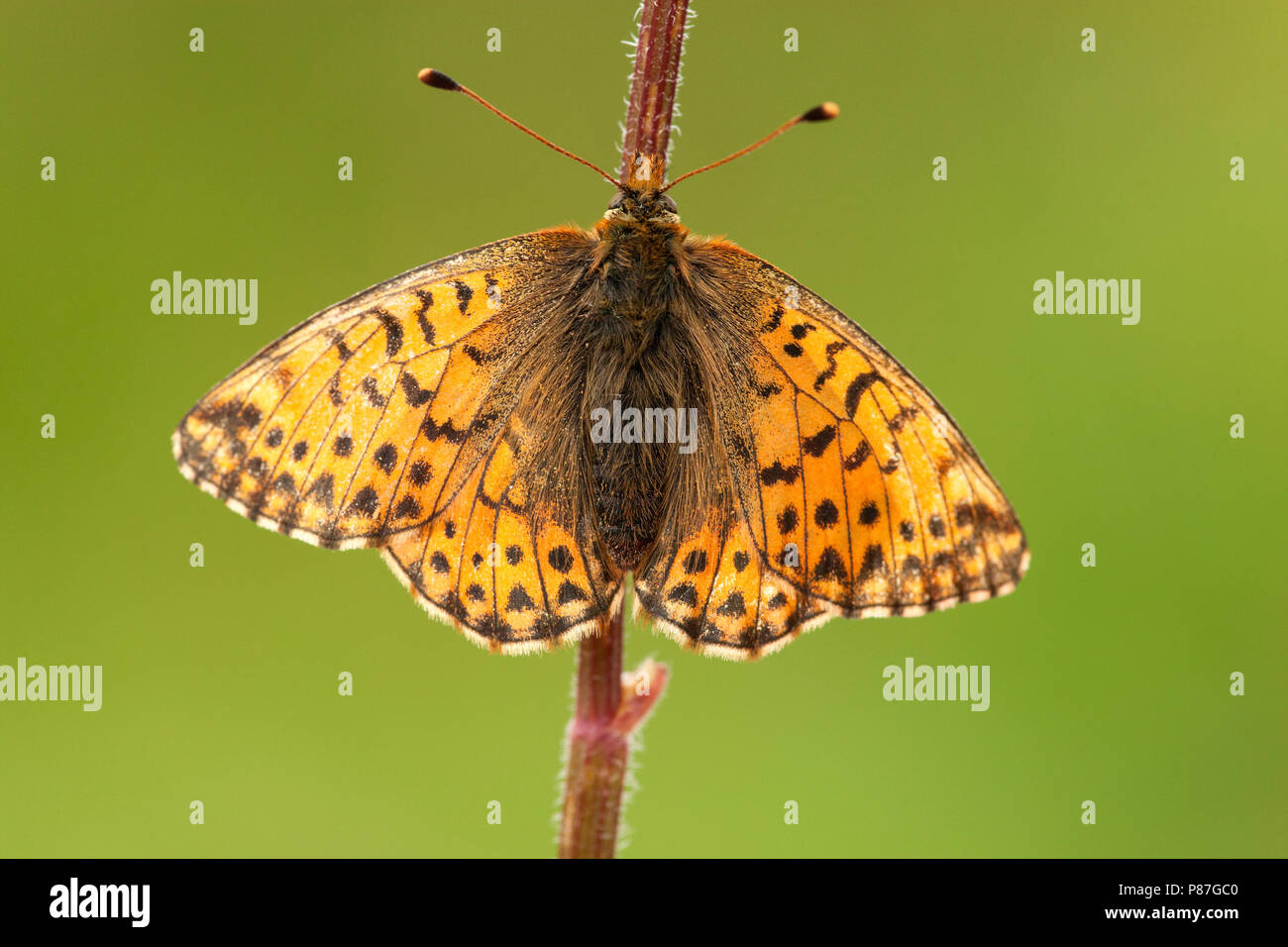 Herdersparelmoervlinder / Shepherd's Fritillary (Boloria pales) Stock Photo