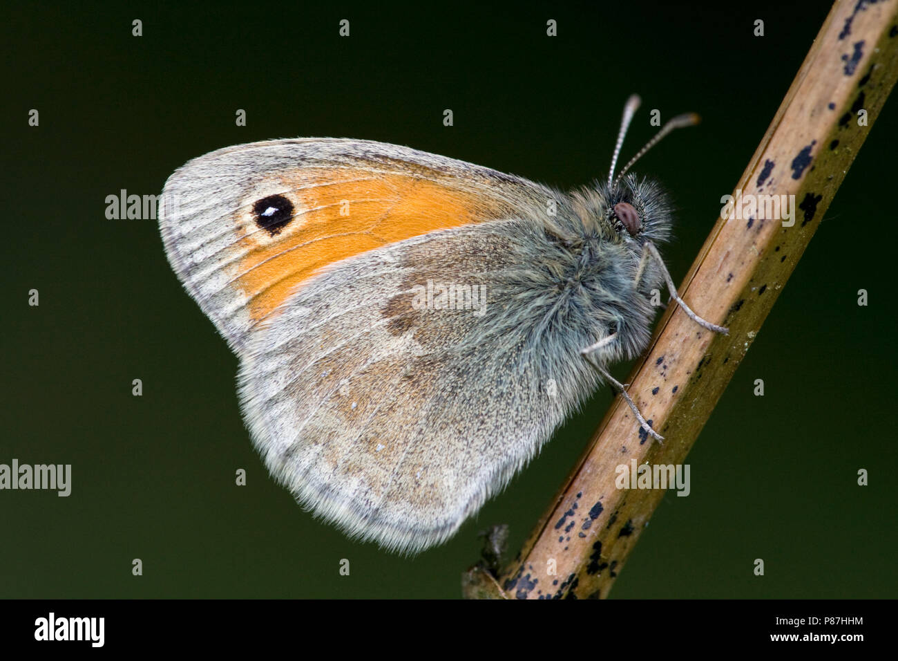 Hooibeestje / Small Heath (Coenonympha pamphilus) - Stock Image