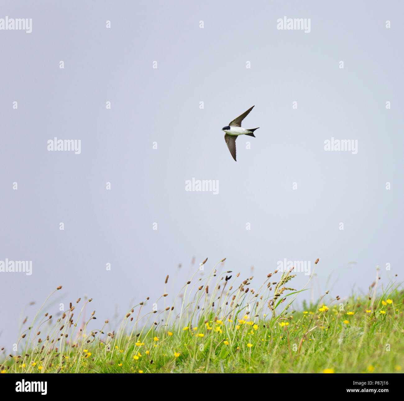 Fouragerende Huiszwaluw vliegt met slecht en koud weer laag boven een bloeiend weiland;Foraging House Martin flying low above flowering meadow in bad Stock Photo