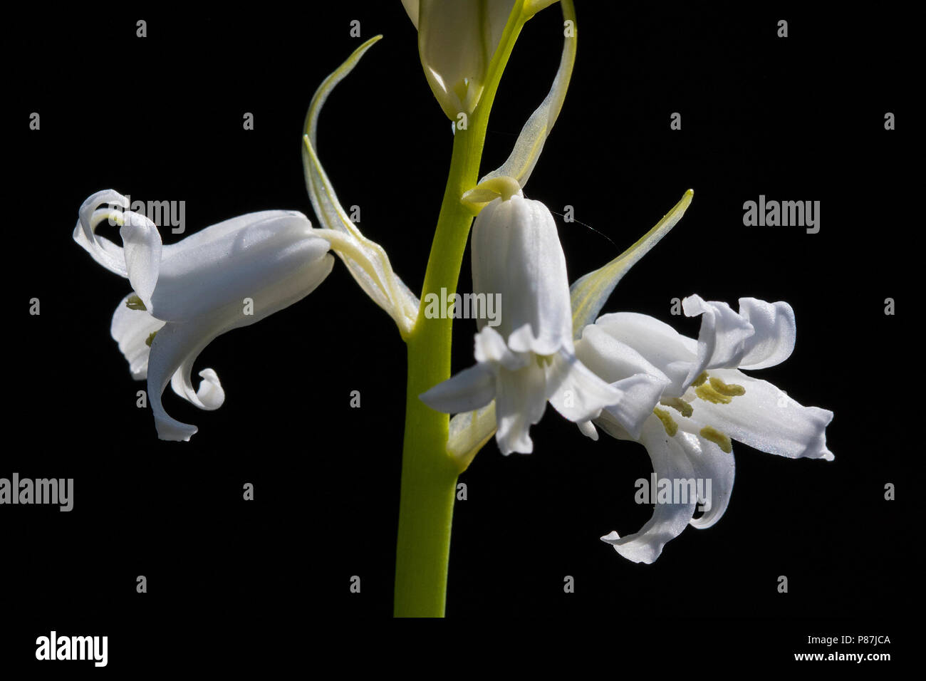 White flower against dark background in the Netherlands. Stock Photo
