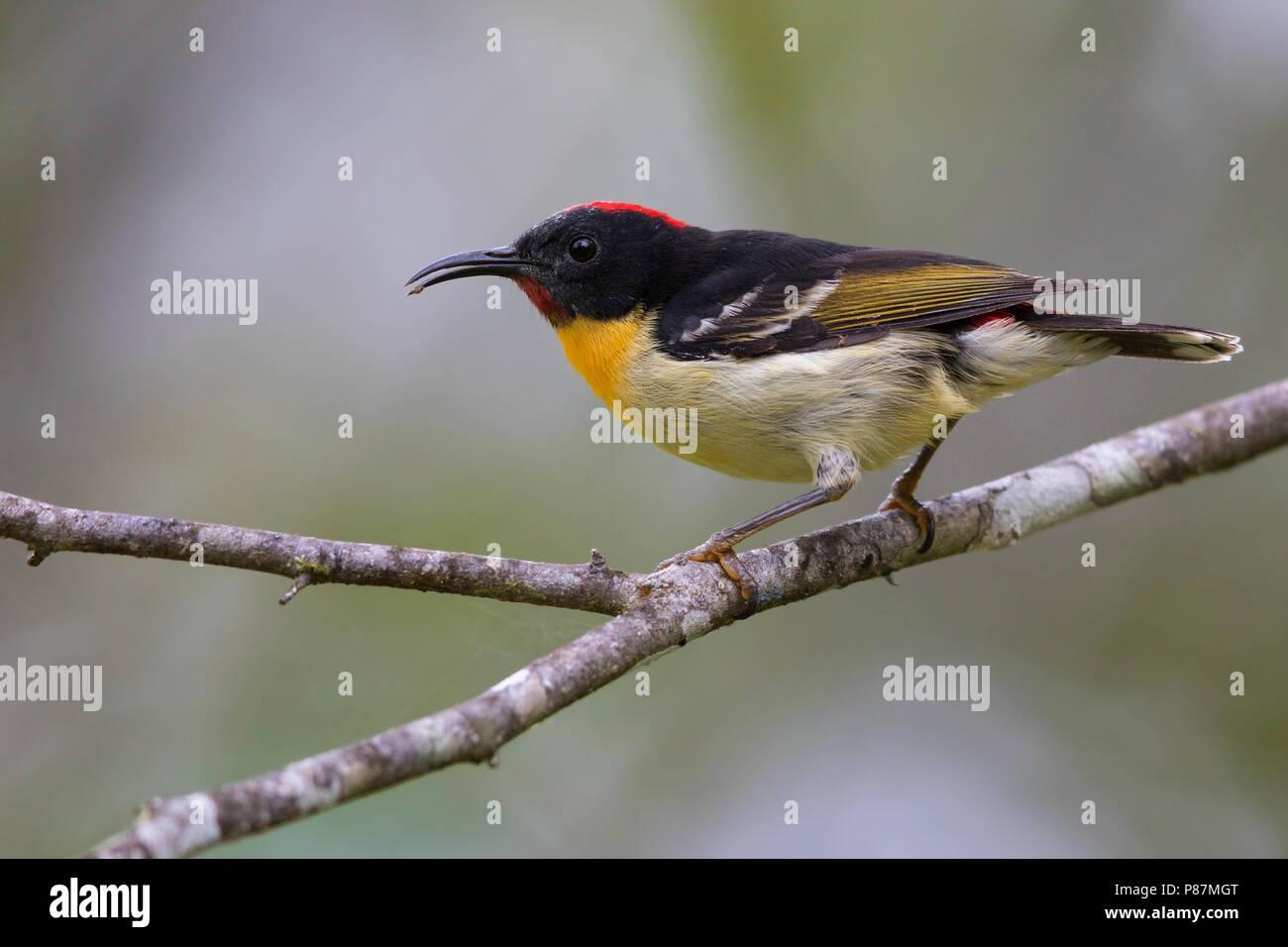 Orange-breasted Myzomela (Myzomela jugularis) the smallest resident avian species on Fiji. - Stock Image
