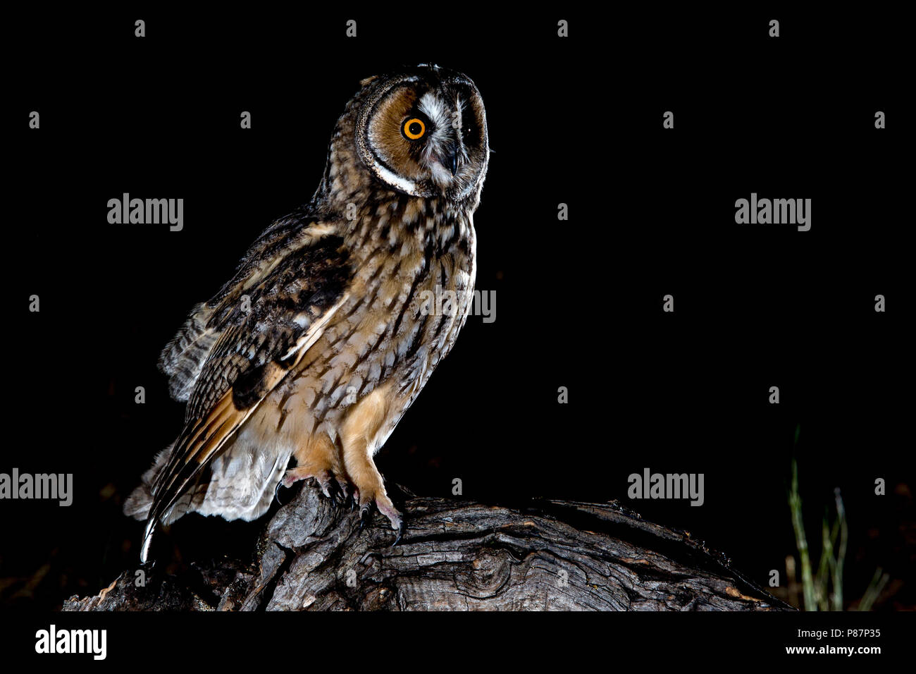 Long-eared Owl, Ransuil, Asio otis - Stock Image