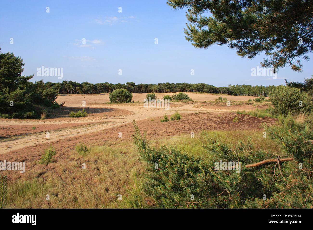 Stuifzand, zand, heide en naaldbomen op militair terrein en Natura 2000 gebied de Boshoverheide. Drift-sand heathland and pines at militairy terrain a - Stock Image