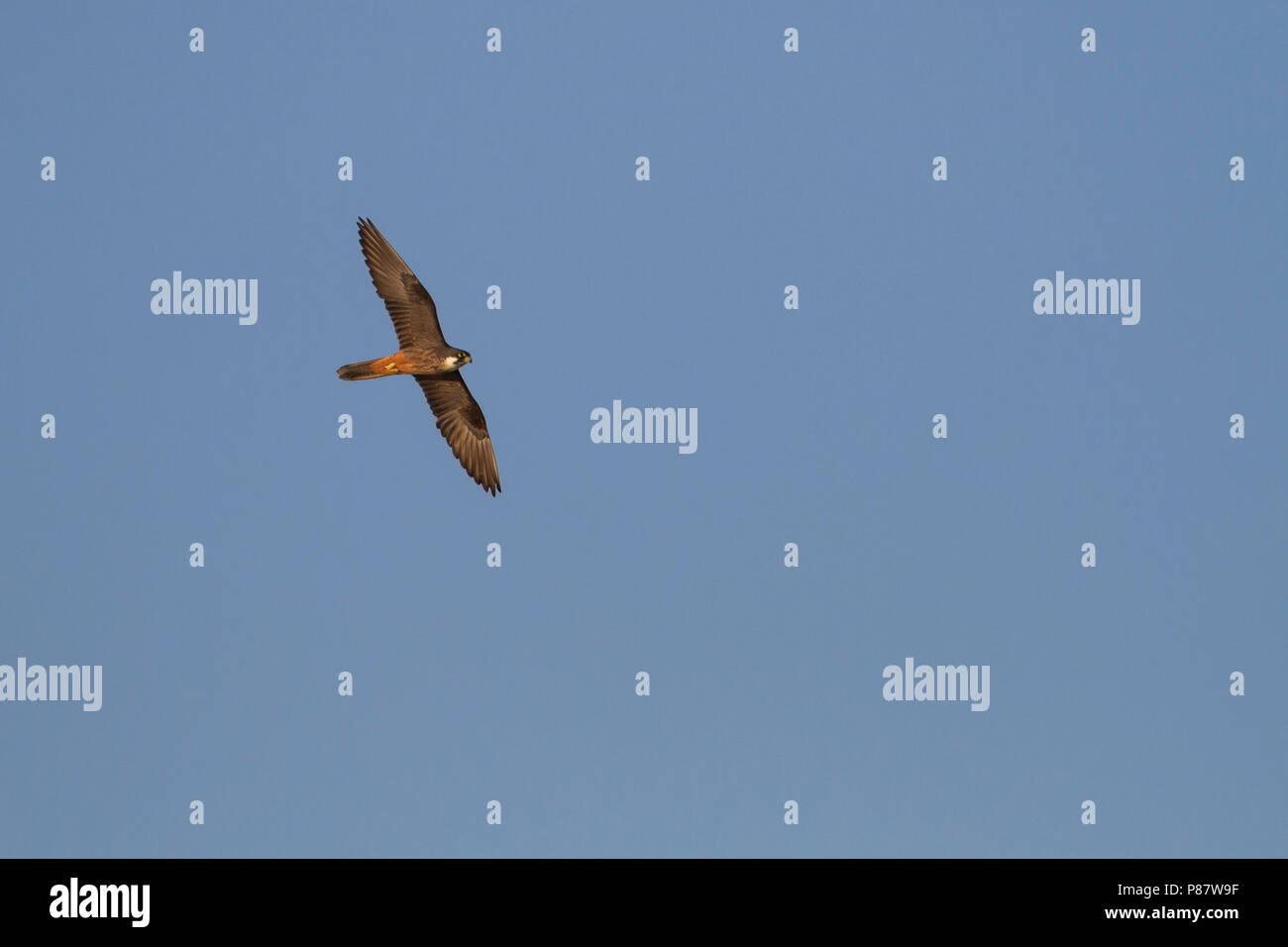 Eleonora's Falcon - Eleonorenfalke - Falco eleonorae, Cyprus, adult Stock Photo