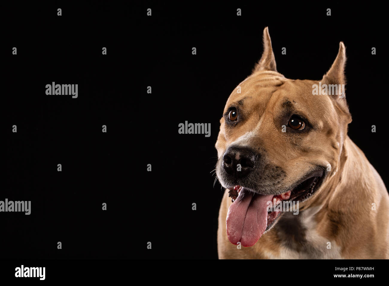 Red American pit bull terrier on black background. Copy space - Stock Image