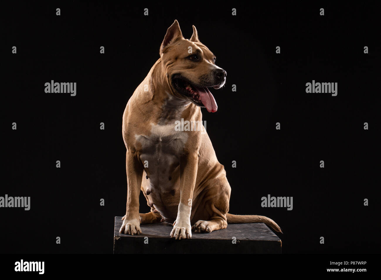 Red American pit bull terrier on black background - Stock Image