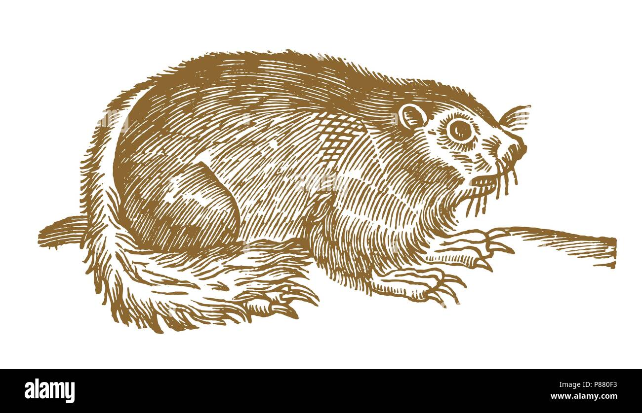 Alpine marmot (marmota marmota) with long claws. Illustration after a historic woodcut engraving from the 17th century - Stock Image