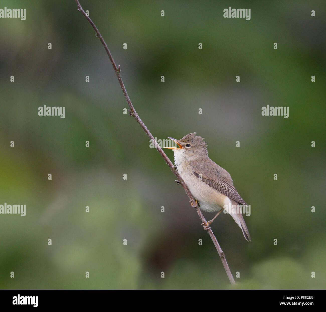 Marsh Warbler (Acrocephalus palustris) singing male on Shetland Islands in June. Stock Photo