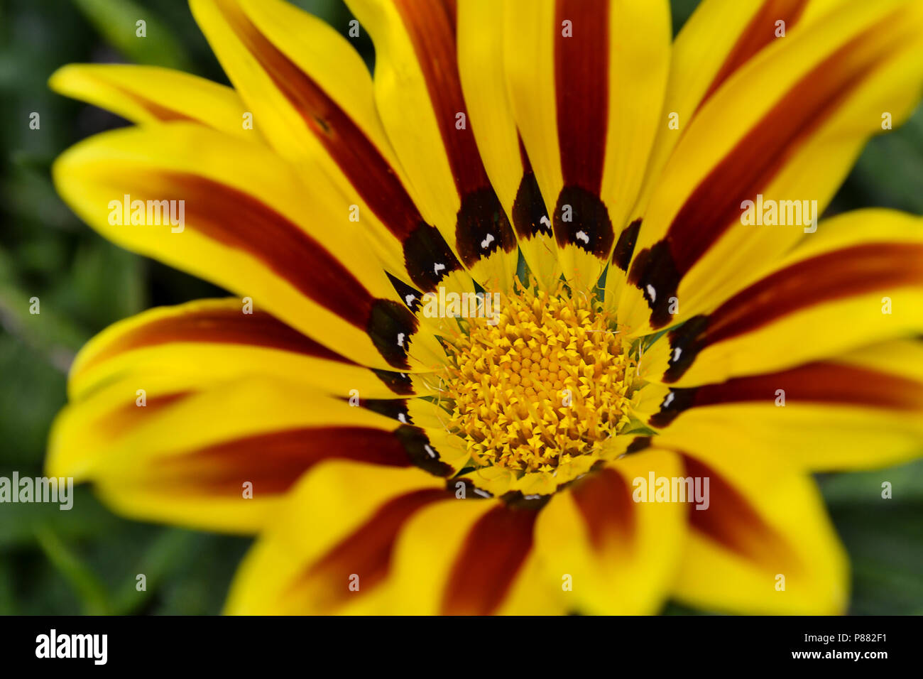 Yellow gazania flower in the wild in a summer afternoon - Stock Image