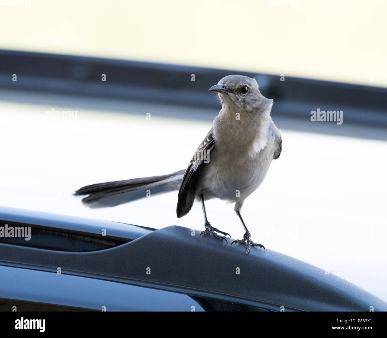 A mockingbird, Mimus polyglottis, looks angry (and is, because of the proximity of a cat, not pictured). - Stock Image