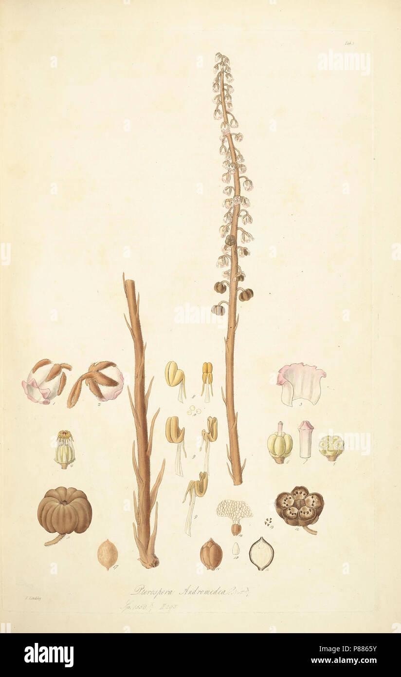 5 Pterospora andromedea - John Lindley - Collectanea botanica (1821). Stock Photo