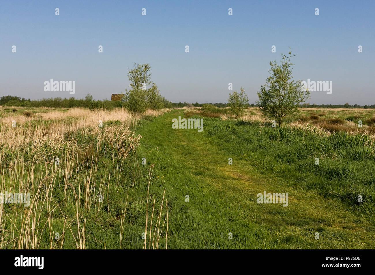 Wandelpad door rietland; Hiking Path through reedbeds Stock Photo
