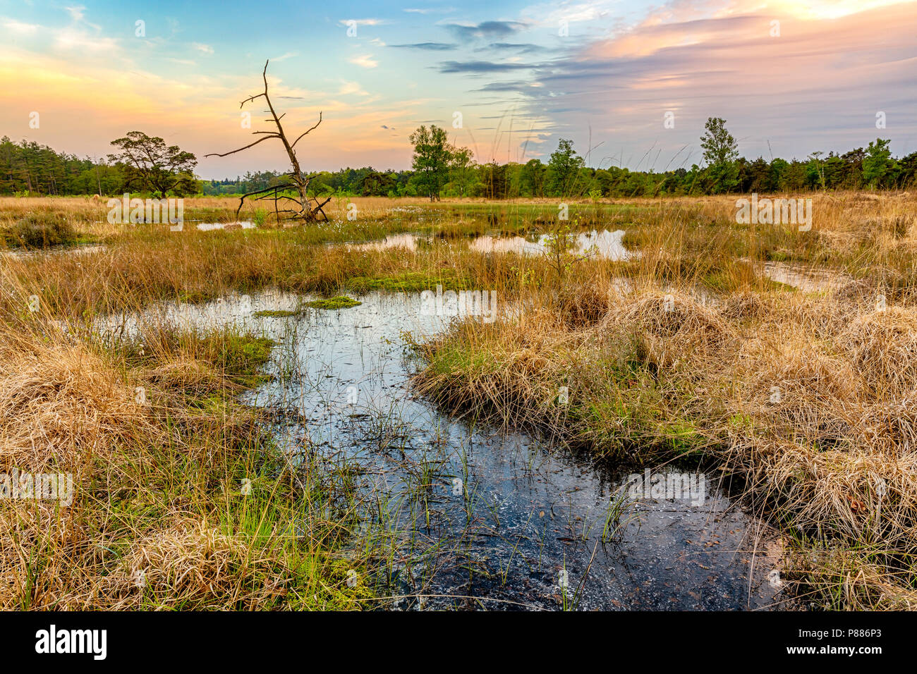 Tree with reflection in wetlands and moorland on the national park Groote Zand near Hooghalen Drenthe during sunset. - Stock Image