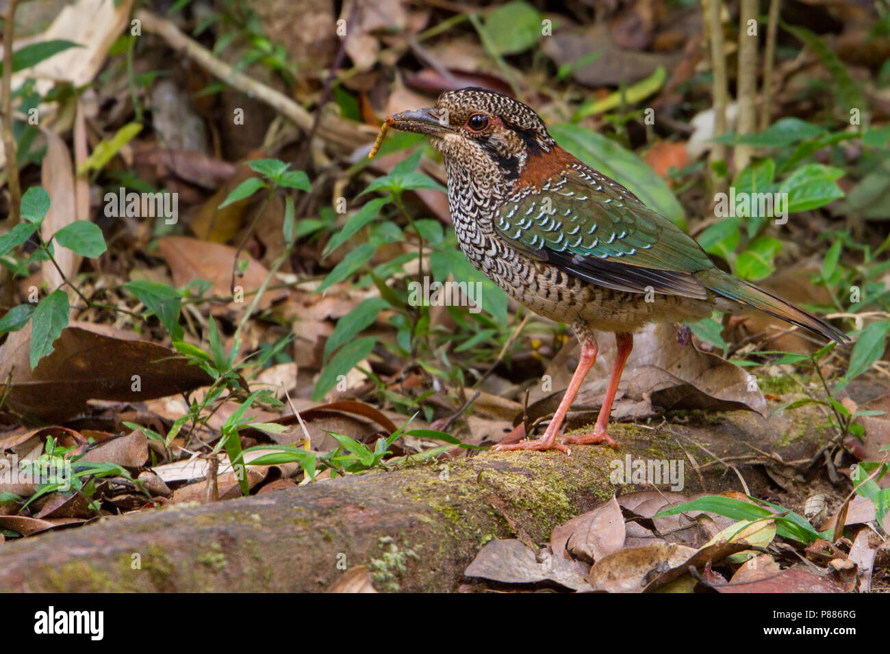 Scaly Ground Roller (Geobiastes squamiger) a stunning endemic of Madagascar. - Stock Image