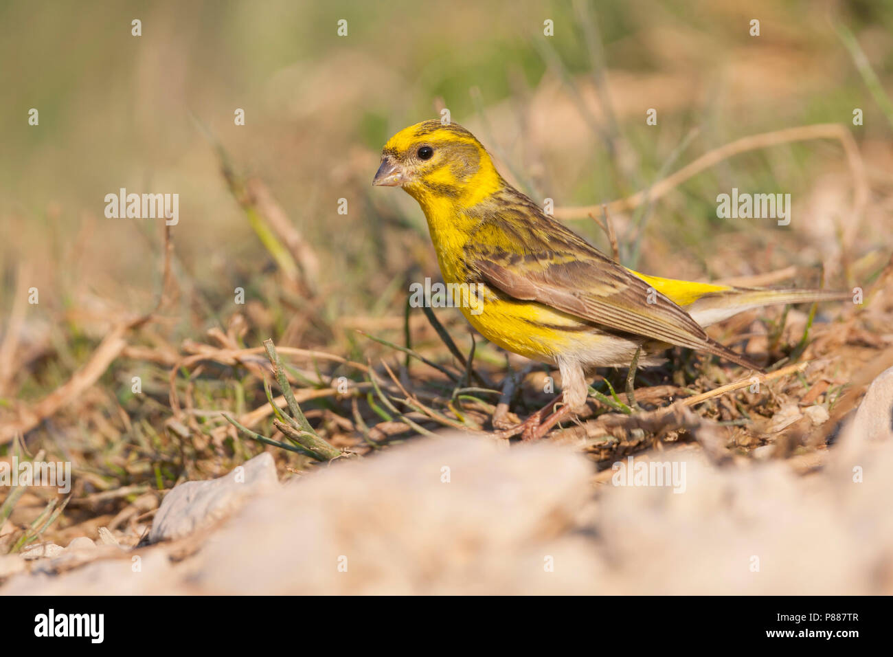 Europese Kanarie, Serin, Serinus serinus Stock Photo
