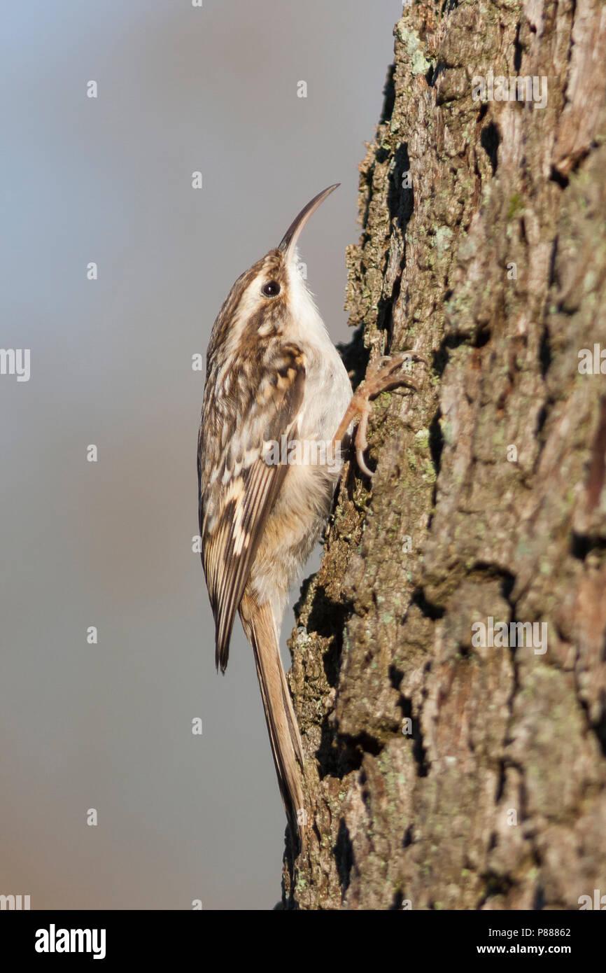 Short-toed Treecreeper - Gartenbaumläufer - Certhia brachydactyla ssp. brachydactyla, Germany - Stock Image