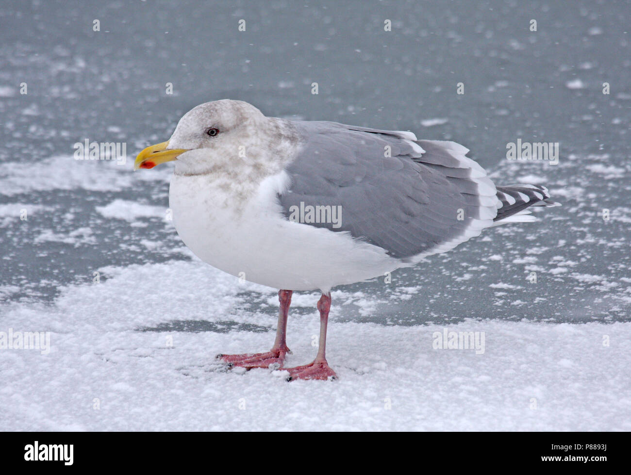 Glaucous-winged Gull (Larus glaucescens) wintering in Japan. - Stock Image