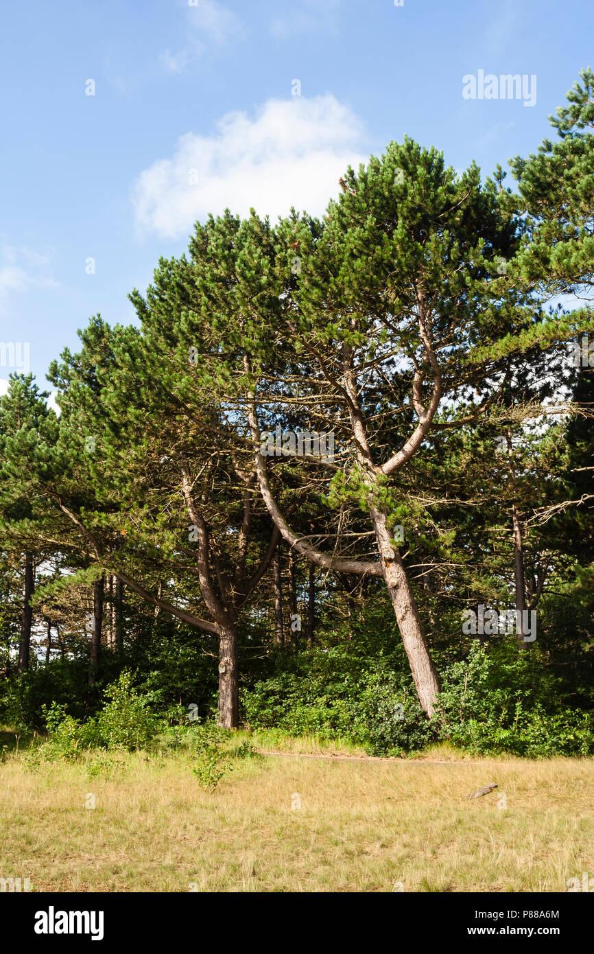 Naaldbos in het dorp Bergen; Conifer forest in village Bergen - Stock Image