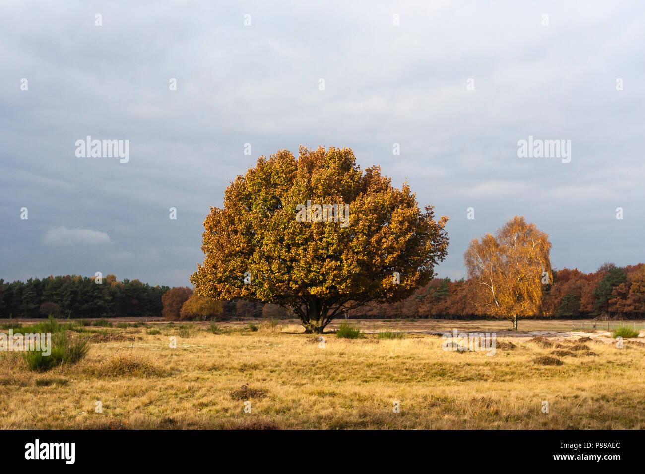 Solitaire bomen in Het Gooi in het najaar; Solitary trees at Het Gooi in autumn - Stock Image