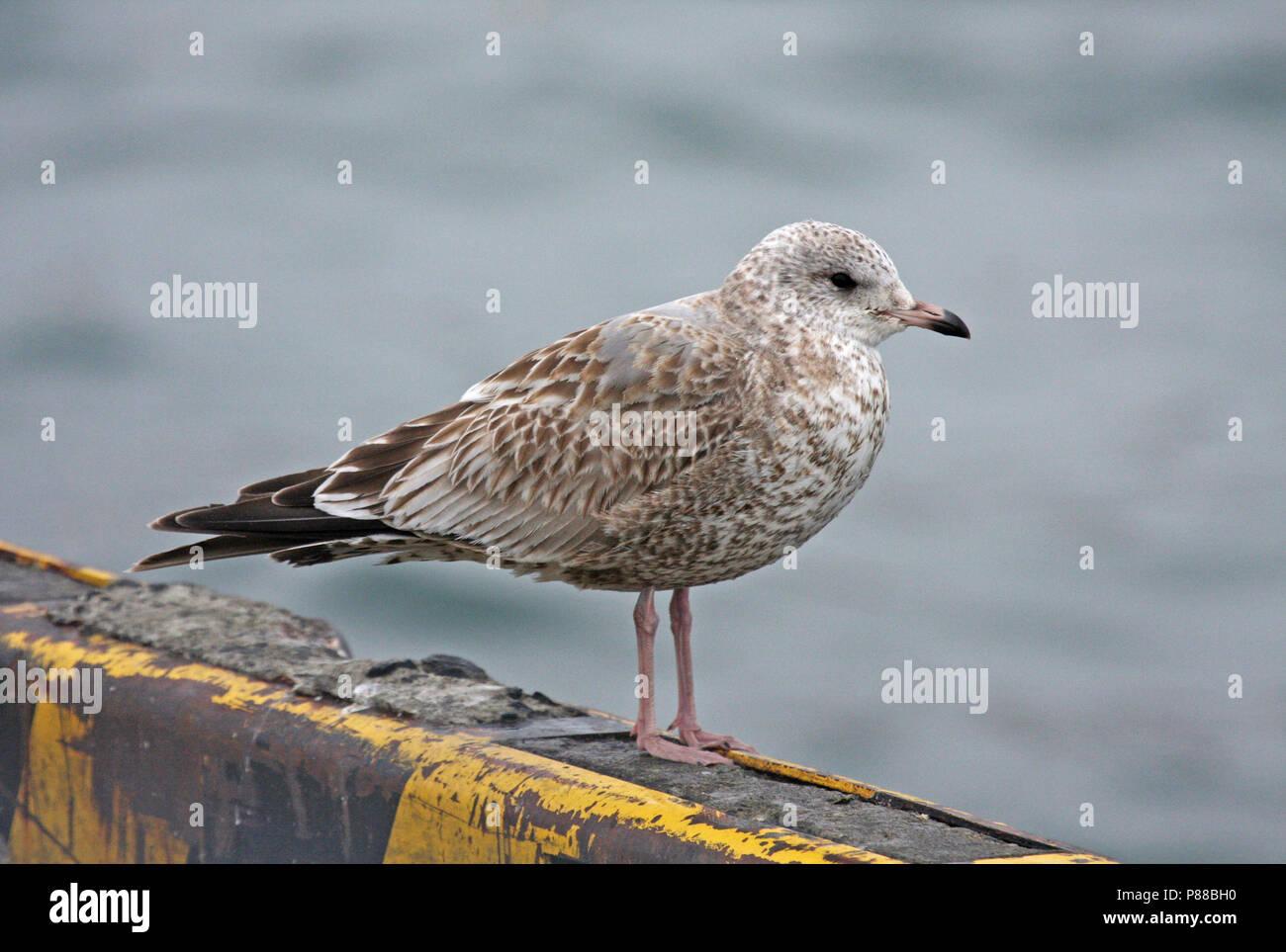 Immature Kamchatka Gull (Larus canus kamtschatschensis) wintering in Japan. - Stock Image