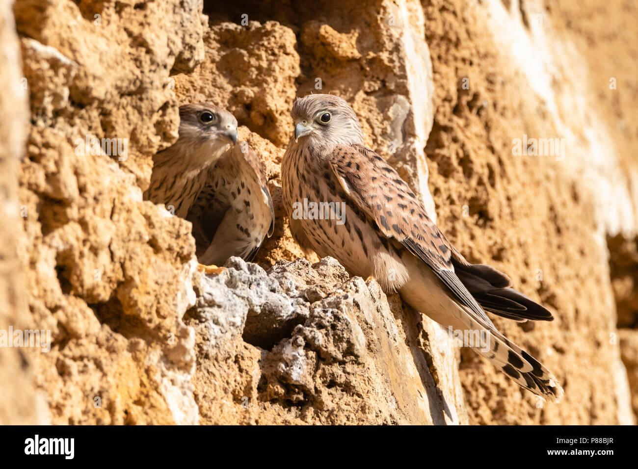 Immature Lesser Kestrel (Falco naumanni) at a breeding colony in Spain. - Stock Image