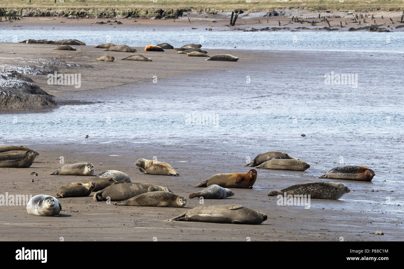 Harbour Seals and Grey Seals basking at low tide at Greatham Creek near Hartlepool, England, UK - Stock Image