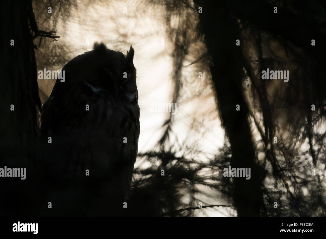 Long-eared Owl - Waldohreule - Asio otus otus, Germany Stock Photo