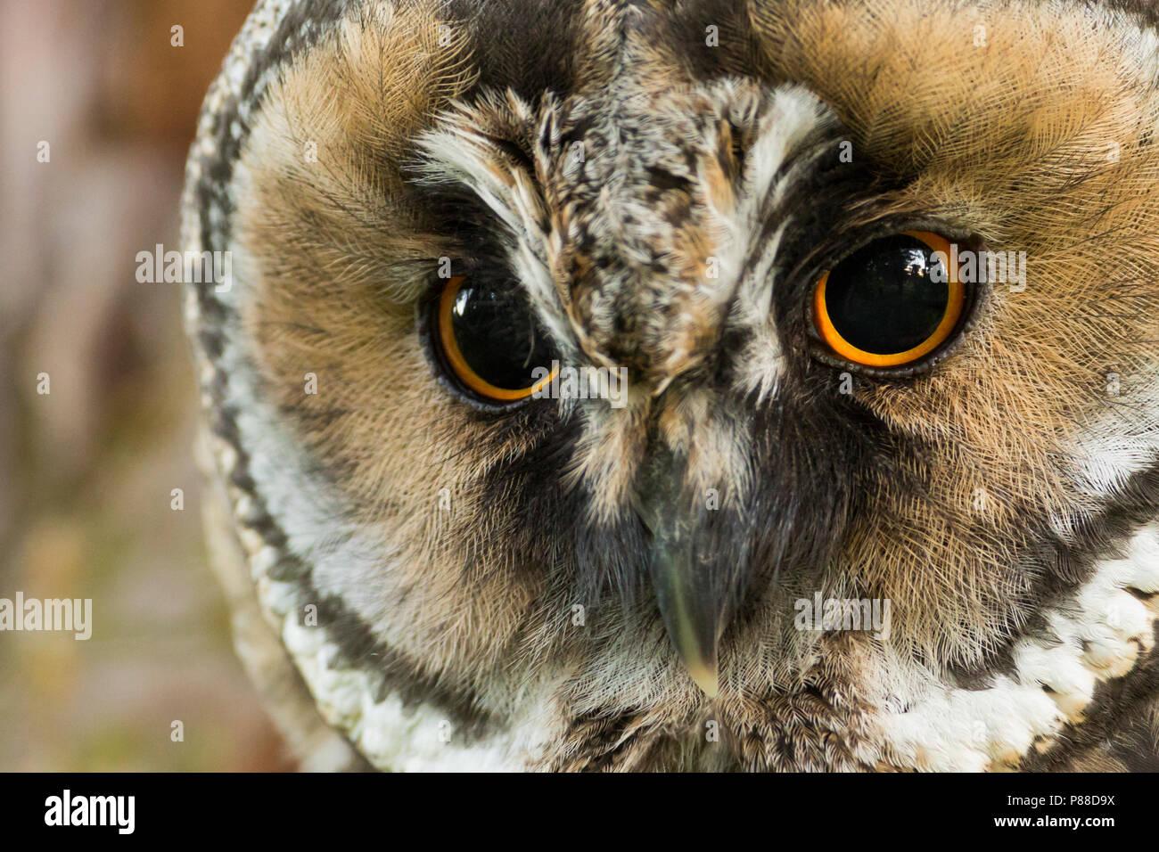 Long-eared Owl - Waldohreule - Asio otus otus, Germany Stock Photo