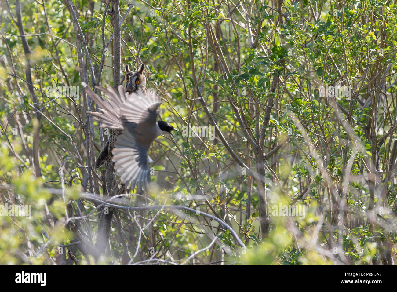 Long-eared Owl - Waldohreule - Asio otus otus, Russia (Baikal), adult, attacked by Asian Blue Magpie Stock Photo