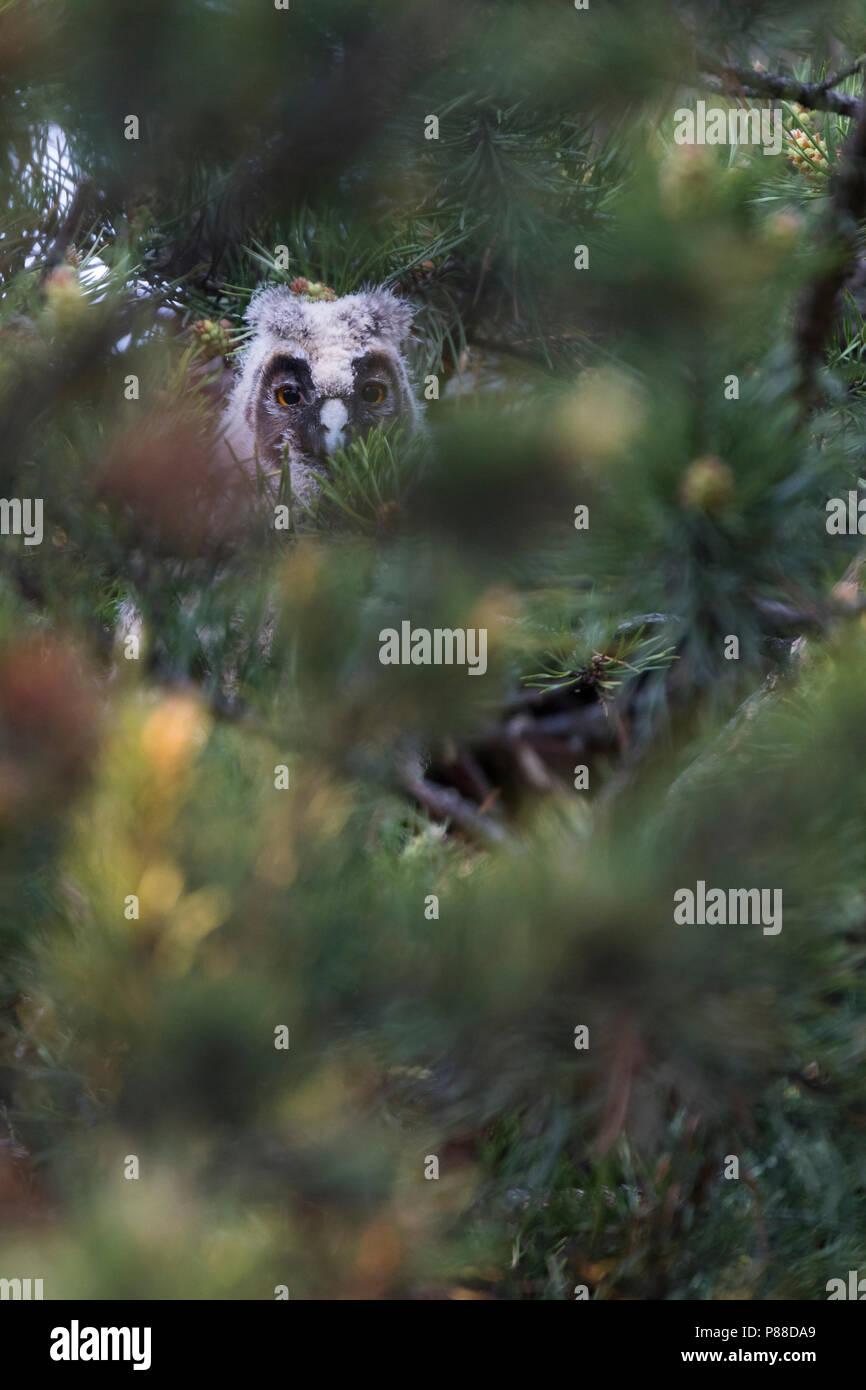 Long-eared Owl - Waldohreule - Asio otus otus, Russia (Baikal), juvenile Stock Photo