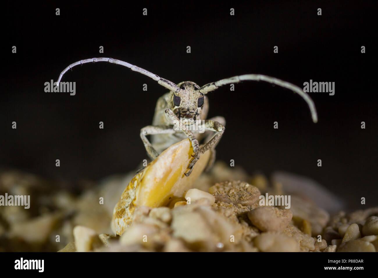 Long-horned Beetle - Niphona indica, Oman, imago - Stock Image
